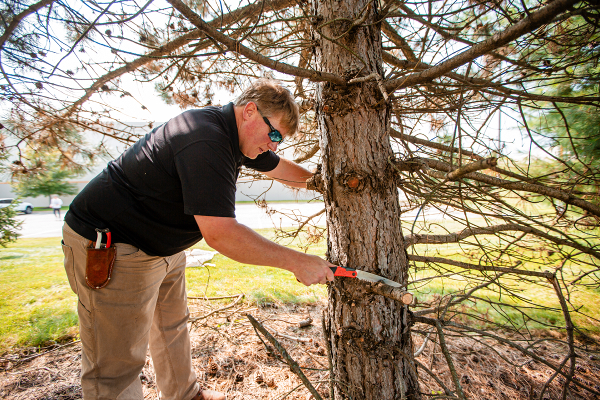 Crew performing pruning on an evergreen tree
