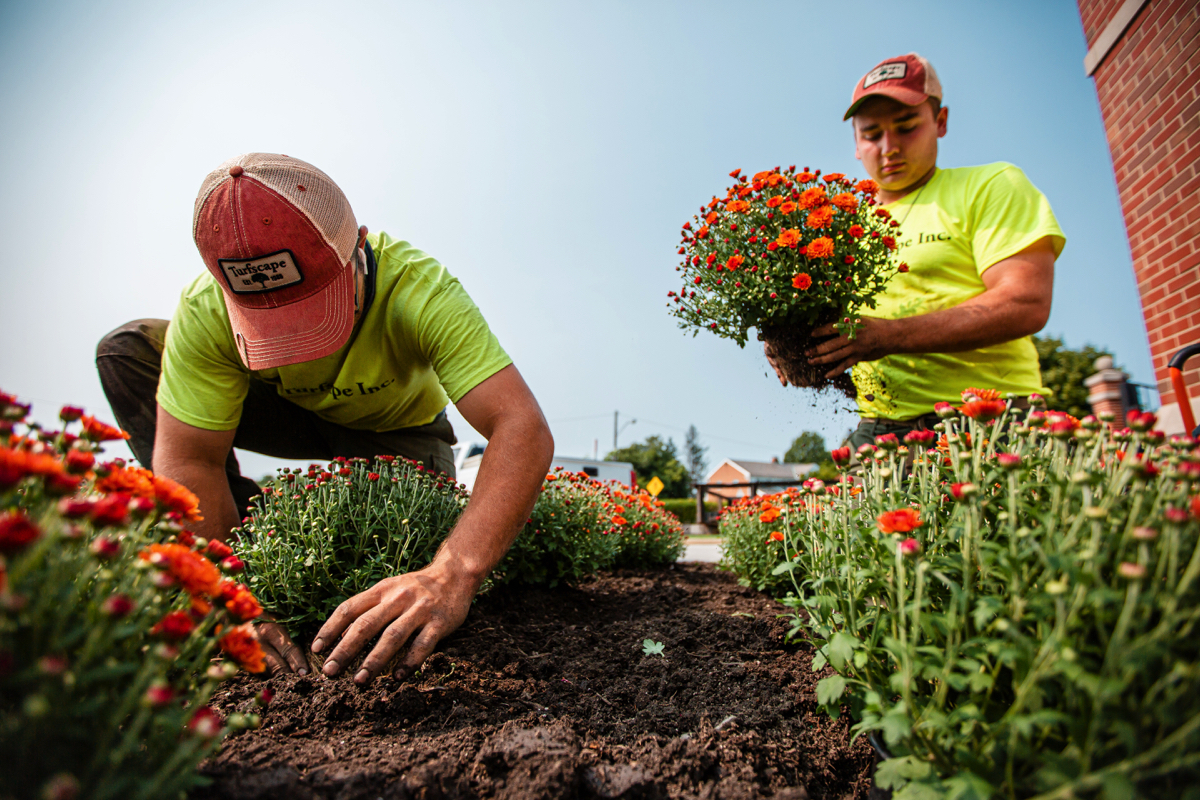 Commercial Landscape crew planting fall mums
