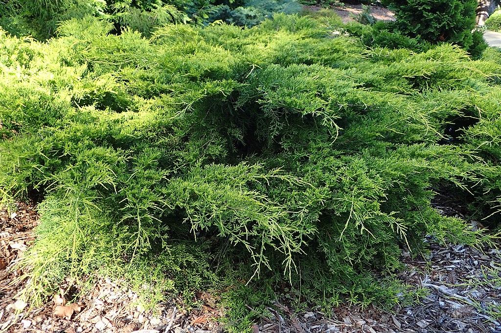 Juniperus × pfitzeriana - Juniper