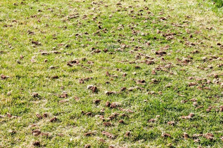 Recent aerating in a lawn