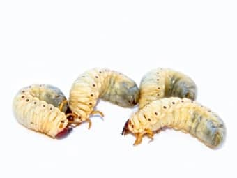 ways to control grubs