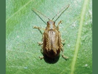 Be Aware of the Viburnum Leaf Beetle