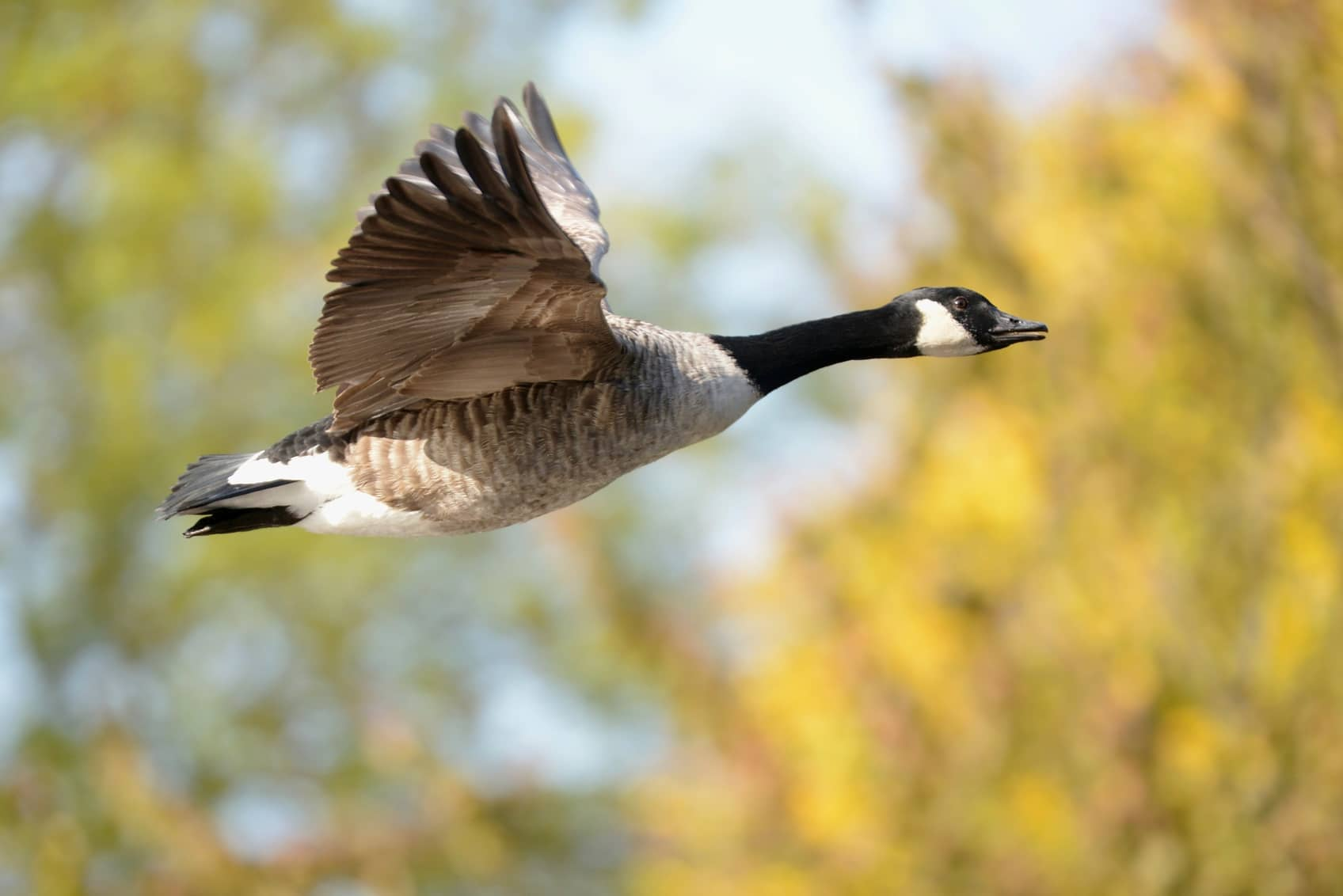 Solve Your Canadian Geese Problems