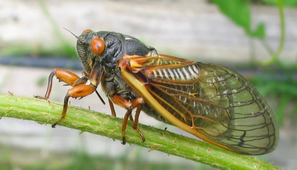 Are 17-Year Cicadas a Threat to Ohio Landscapes?