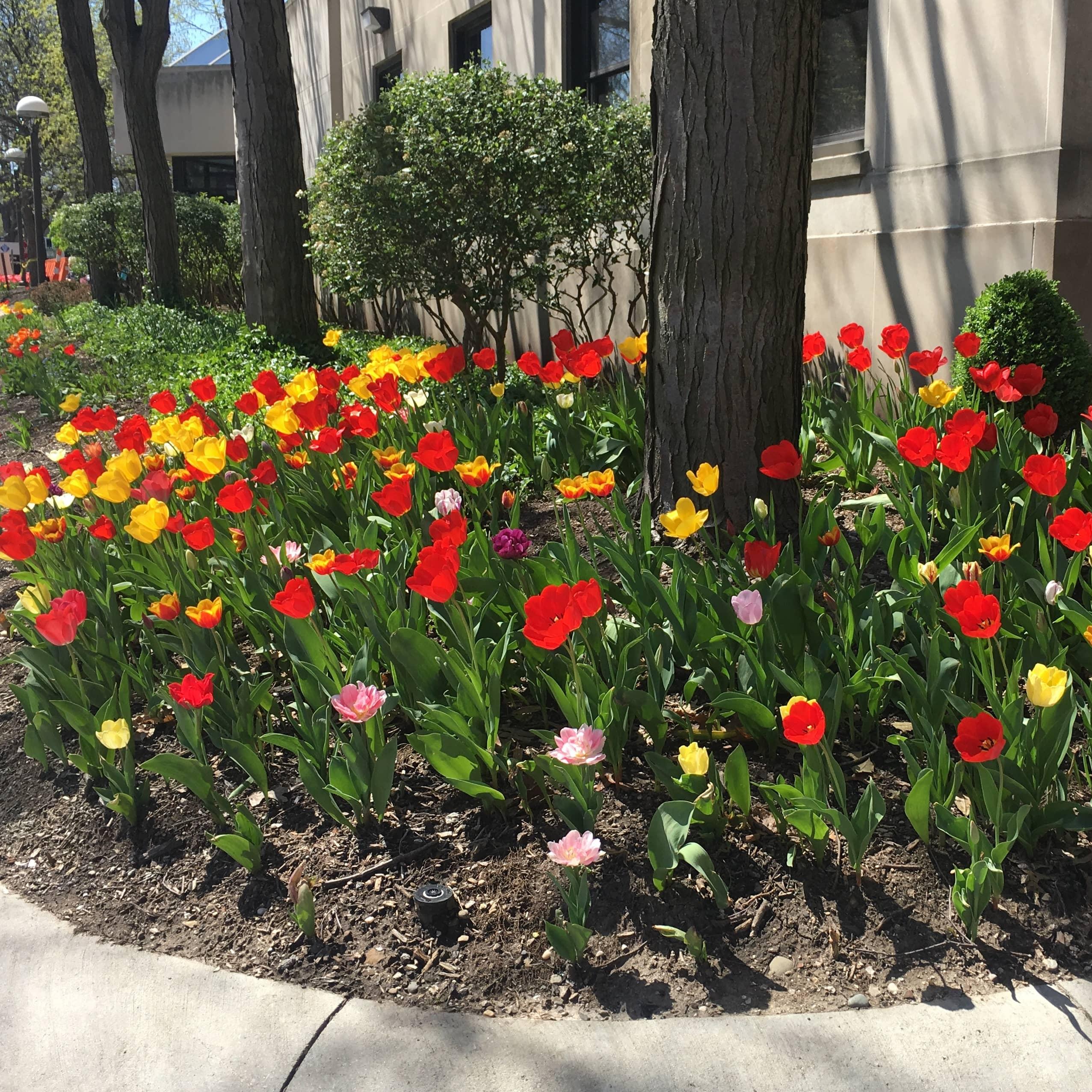tulips-1.jpg